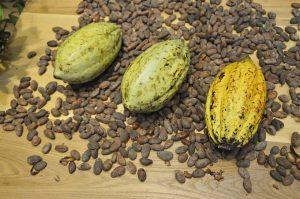 Tre gulgröna kakaobönor